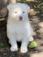 Alaskan Malamute Puppies for sale in San Pedro, CA 90731, USA. price: NA