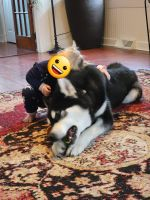 Alaskan Malamute Puppies for sale in Mt Wolf, PA, USA. price: NA