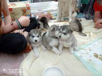 Alaskan Malamute Puppies for sale in Colorado Springs, CO, USA. price: NA