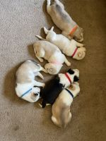 Alaskan Malamute Puppies for sale in Brownsville, PA, USA. price: NA