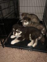 Alaskan Malamute Puppies for sale in Lafayette, IN, USA. price: NA