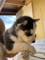 Alaskan Malamute Puppies for sale in Phoenix, AZ, USA. price: NA