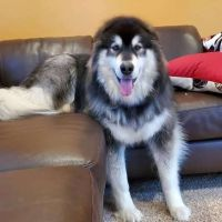 Alaskan Malamute Puppies for sale in Erie, PA, USA. price: NA