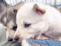 Alaskan Malamute Puppies for sale in Homer, AK, USA. price: NA