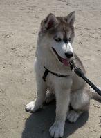 Alaskan Malamute Puppies for sale in 10751 Meadowglen Ln, Houston, TX 77042, USA. price: NA