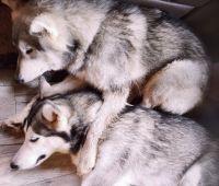 Alaskan Malamute Puppies for sale in Tazewell, TN 37879, USA. price: NA