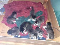 Alaskan Malamute Puppies for sale in Rancho Cordova, CA, USA. price: NA