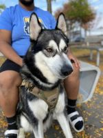 Alaskan Malamute Puppies for sale in Bridgeport, CT, USA. price: NA