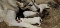 Alaskan Malamute Puppies for sale in Knoxville, TN, USA. price: NA