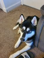 Alaskan Malamute Puppies for sale in Columbus, OH 43229, USA. price: NA