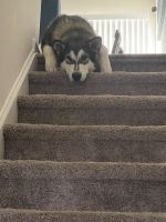 Alaskan Malamute Puppies for sale in Red Lion, PA, USA. price: NA