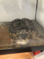 Alligator Snapping Turtle Reptiles Photos