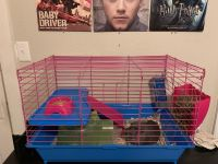 Alpaca Guinea Pig Rodents for sale in Lubbock, TX, USA. price: NA