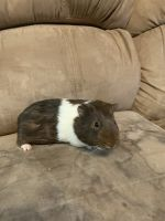 Alpaca Guinea Pig Rodents for sale in Salem, UT, USA. price: NA