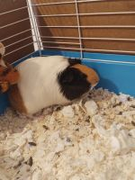 Alpaca Guinea Pig Rodents for sale in Montrose, CO, USA. price: NA