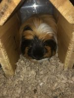 Alpaca Guinea Pig Rodents for sale in Burley, ID, USA. price: NA