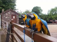 Amazon Birds for sale in Billings, MT, USA. price: NA