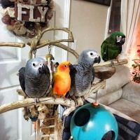 Amazon Birds for sale in Los Angeles, CA, USA. price: NA