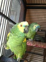 Amazon Birds for sale in Murrieta, CA, USA. price: NA