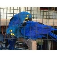 Amazon Birds for sale in Fort Wayne, IN, USA. price: NA