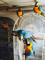 Amazon Birds for sale in Roseville, CA, USA. price: NA