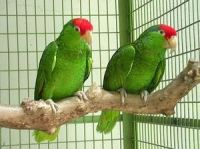 Amazon Birds for sale in Dallas, TX, USA. price: NA