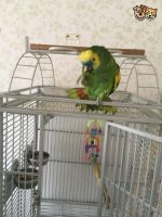 Amazon Birds for sale in Huntsville, AL, USA. price: NA
