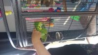 Amazon Birds for sale in Phoenix, AZ, USA. price: NA