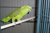 Amazon Birds for sale in Remlap, AL 35133, USA. price: NA