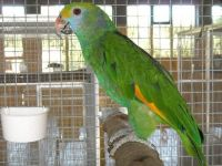 Amazon Birds for sale in Lewis Center, OH, USA. price: NA
