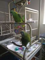 Amazon Birds for sale in Jersey Ave, Gloucester City, NJ 08030, USA. price: NA