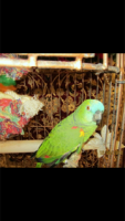 Amazon Birds for sale in Fort Lauderdale, FL, USA. price: NA