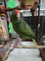 Amazon Birds for sale in Houston, TX, USA. price: NA
