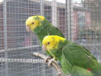 Amazon Birds for sale in New York, NY, USA. price: NA