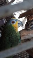 Amazon Birds for sale in Salinas, CA, USA. price: NA