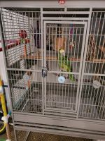 Amazon Birds for sale in Grand Rapids, MI, USA. price: NA