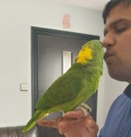 Amazon Birds for sale in Piscataway, NJ 08854, USA. price: NA