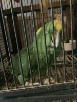 Amazon Birds for sale in Cumberland, RI 02864, USA. price: NA