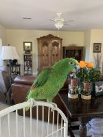 Amazon Birds for sale in Henderson, NV, USA. price: NA