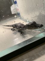 American Alligator Reptiles for sale in East Bangor, PA 18013, USA. price: NA