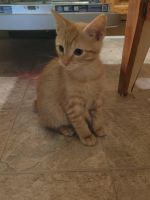 American Bobtail Cats for sale in Louisville, KY, USA. price: NA