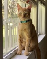 American Bobtail Cats for sale in Brooksville, FL 34601, USA. price: NA