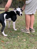 American Bulldog Puppies for sale in SANTA RSA BCH, FL 32459, USA. price: NA
