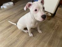 American Bulldog Puppies for sale in 840 Pacific Ave, San Francisco, CA 94133, USA. price: NA