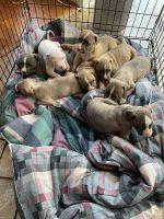 American Bulldog Puppies for sale in Greensboro, NC 27405, USA. price: NA