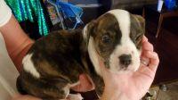 American Bulldog Puppies for sale in Atlanta, GA, USA. price: NA