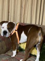 American Bulldog Puppies for sale in 6300 Parc Corniche Dr, Orlando, FL 32821, USA. price: NA