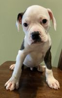 American Bulldog Puppies for sale in Odenton, MD 21113, USA. price: NA