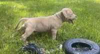 American Bulldog Puppies for sale in Euless, TX 76040, USA. price: NA