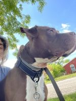 American Bulldog Puppies for sale in Killeen, TX 76542, USA. price: NA